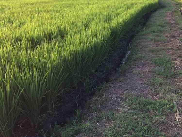 Lúa Mùa Duyên Thắm - Nam Long ft Lavender