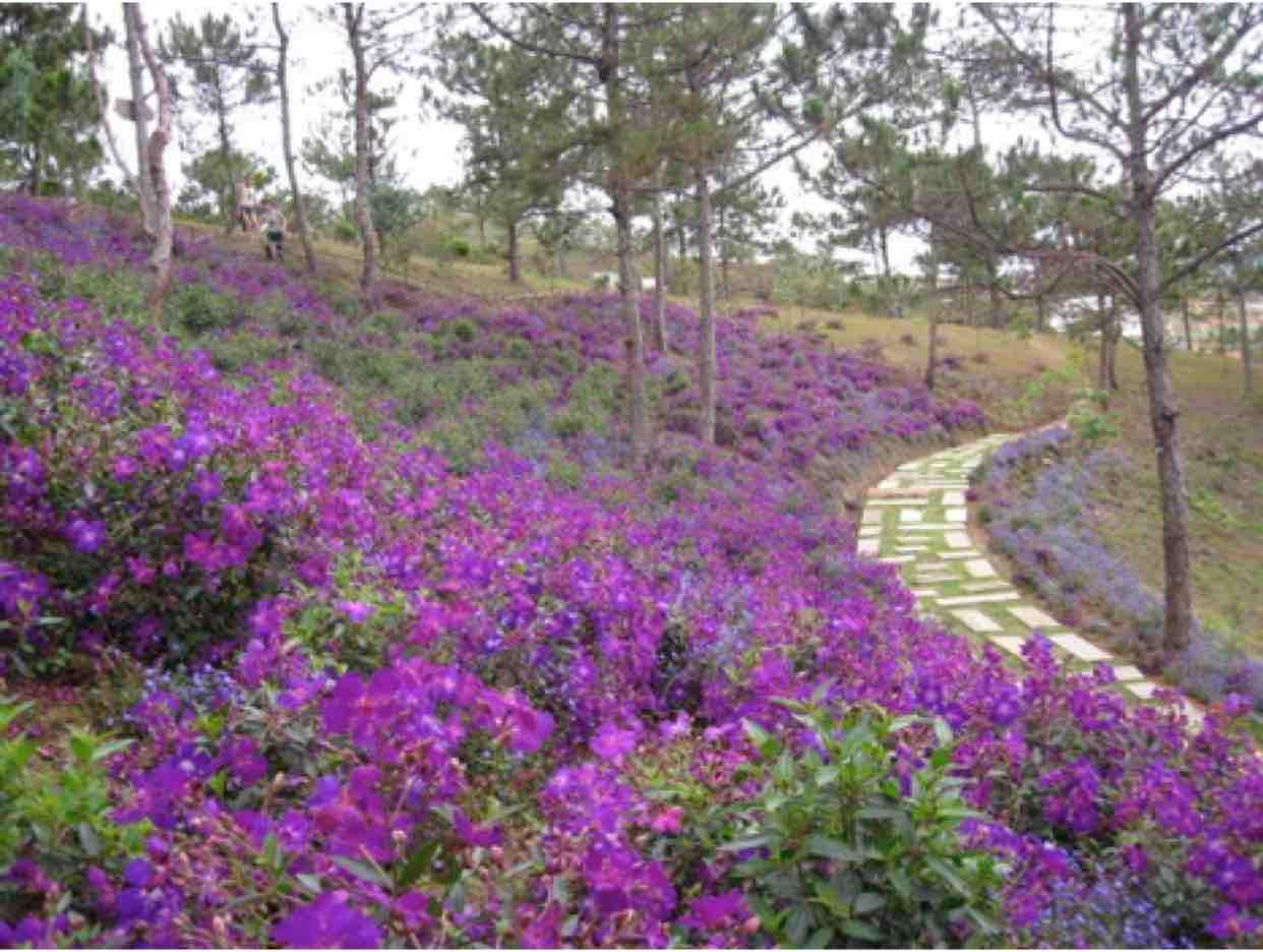 Những đồi hoa sim - Sc NT & ĐA
